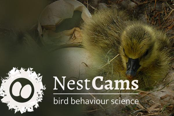NestCams: Watch birds on their nests and help us find out more about their breeding behaviour!